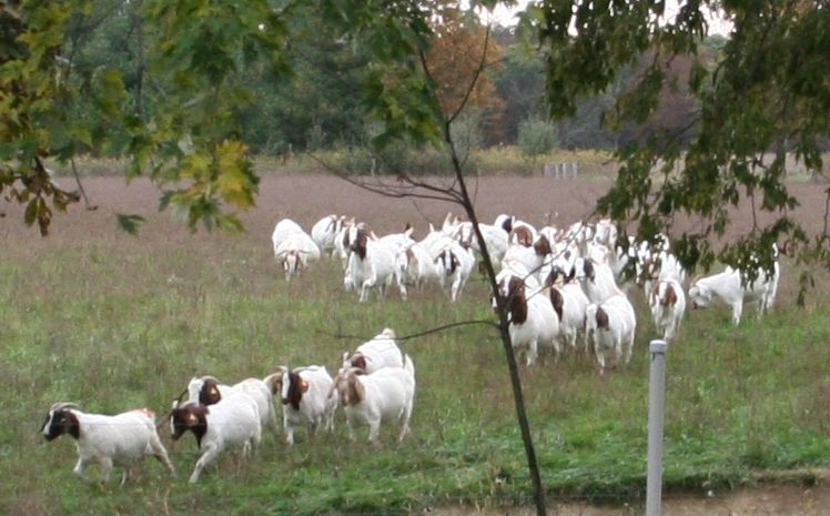 goats coming in