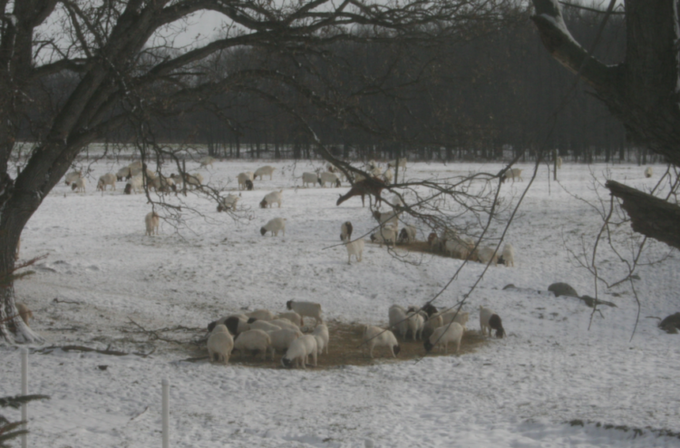 winter goats-2013-for-site